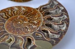 Ammoniten Paare A