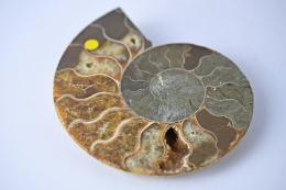 Ammoniten Paare B