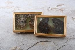 Ammoniten Paare in Box (groß)