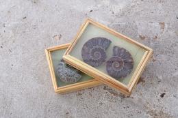 Ammoniten Paare in Box (klein)