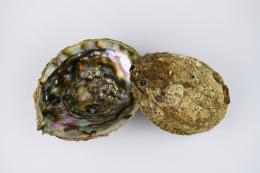 Abalone Muschel natur